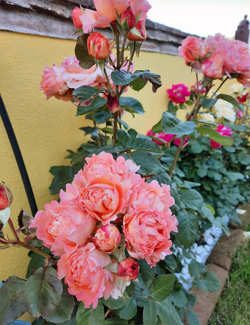 Le rose in terrazza